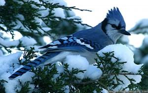 blue-jay-winter-birds