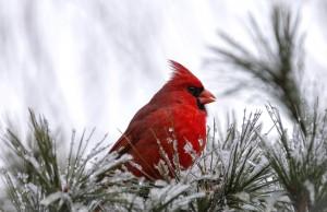 cardinal-in-snow-wallpaper-3
