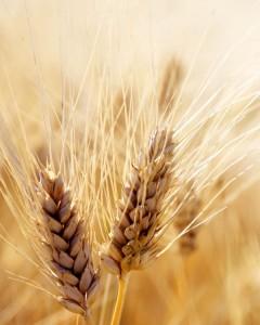 headofwheat